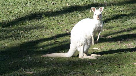 information   world white kangaroo  australia