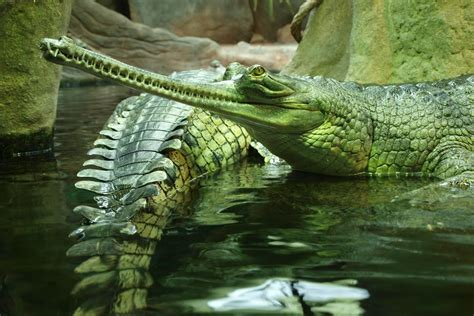 crocodiles wallpapers high quality