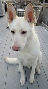 The gallery for --> White Shepherd Husky Mix