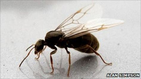 flying ant flying ants stage annual mating ritual bbc news