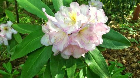 propagating rhododendrons growing rhododendrons in the south southern living