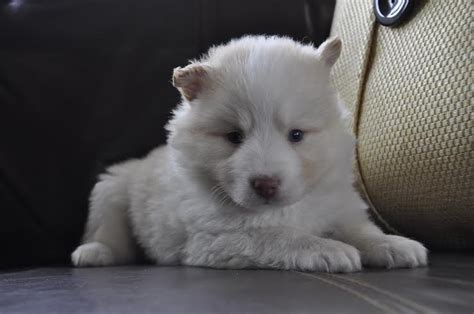 pomsky puppies  sale shoal creek puppies