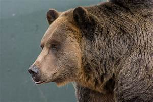 Grizzly Bear Stock Photo  Image Of National  Predator