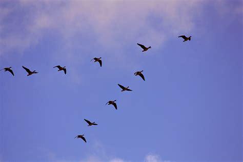 Briedis dabā: Kāpēc putni lido kāsī?