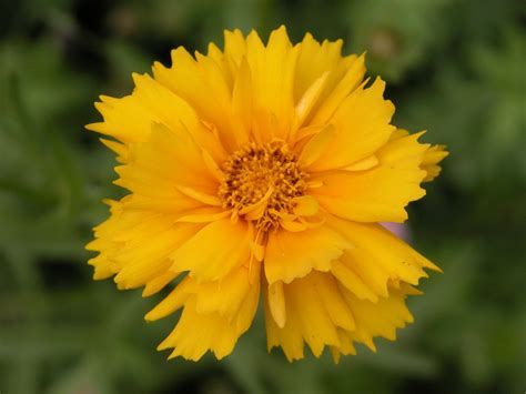 Tickseed ~ Coreopsis Plant Care Guide And Varieties