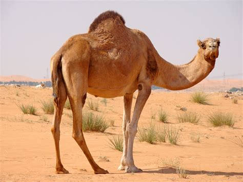 Camel Images Camel Facts And Photos Images The Wildlife