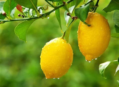 comment r 233 ussir la taille de votre citronnier