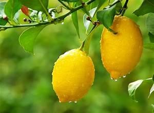 Comment reussir la taille de votre citronnier for Pont pour bassin de jardin 18 comment reussir la taille de votre citronnier