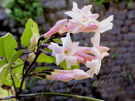 jasminum dispermum pink jasmine