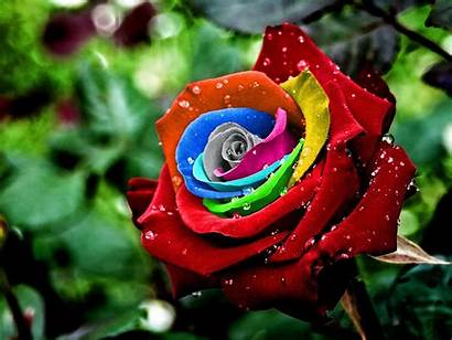 Rose Colorful Wallpapers Desktop Backgrounds Roses Rainbow
