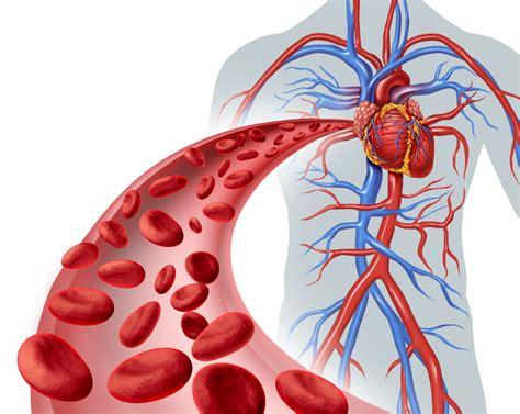 - Interesting Facts About The Circulatory System