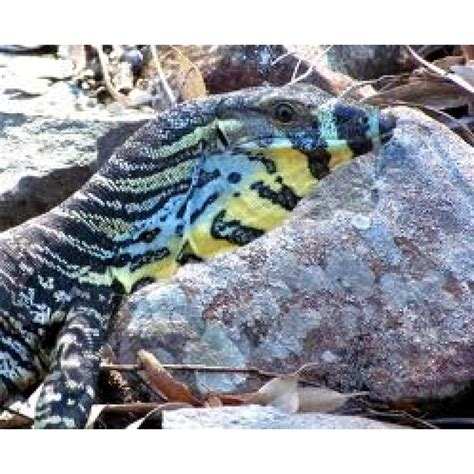 d馮lacer cuisine lace monitors and monitor lizards amazing amazon