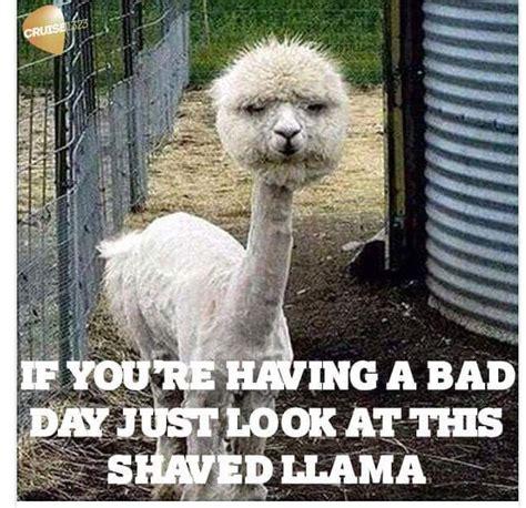 Shaved Llama Meme - 1522 best funny animal pic s images on pinterest funny animal pics animal humour and cutest