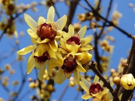 fiore calicanto calicanto chimonanthus praecox calycanthus praecox