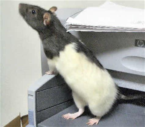 rats as pets kangaroo rats as pets funny animal