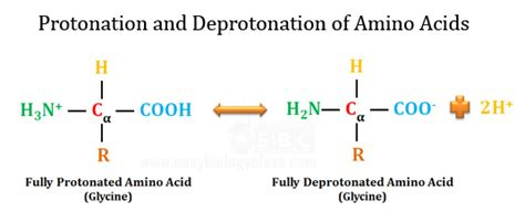 Protonated Amine by Biology Mcq With Answers Biochemistry Easybiologyclass