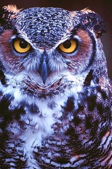 nature birds animals purple owls wallpaper allwallpaper