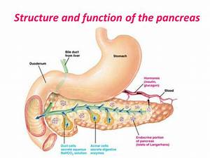 What Is The Function Of The Pancreas In Both Endocrine And Exocrine Systems