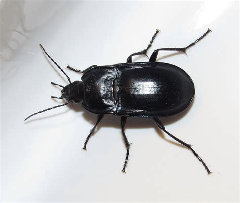 weevil bug bug eric id tip ground beetle or darkling beetle