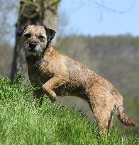Border Terrier Non Shedding by 100 Terrier Shedding A Lot Boston Terrier