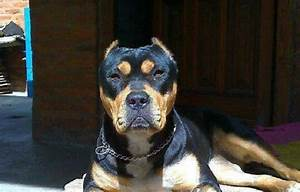 Rottweiler Mixed With Pitbull | www.pixshark.com - Images ...