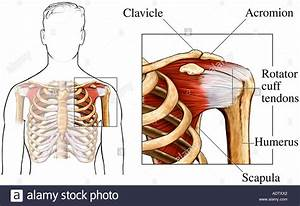 The Shoulder And Rotator Cuff Tendons Stock Photo  7710753