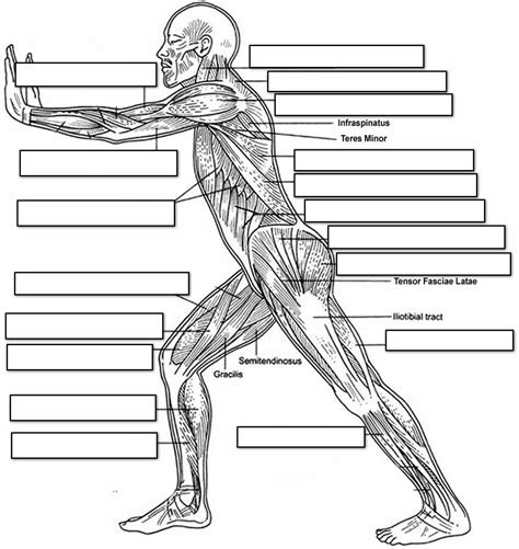The ischium is labeled at the bottom left of the ilium. 14 Best Images of Muscle Labeling Worksheet High School ...