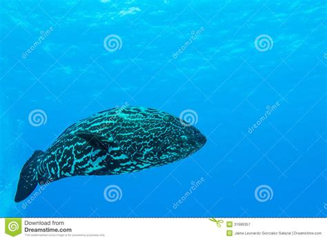 caribbean grouper fish reef mexican