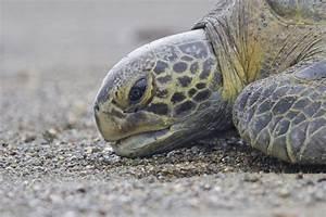 Sea Turtle Facts — SEE Turtles