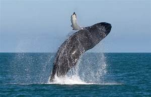 Whale Jumping – Focusing on Wildlife