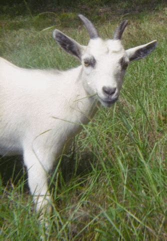 goat gifs find share  giphy