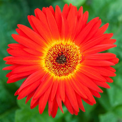 Orange Pilze Im Garten by Gerbera Im Garten Gerbera Im Garten Foto Bild Pflanzen