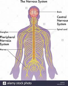 Nervous System Diagram High Resolution Stock Photography