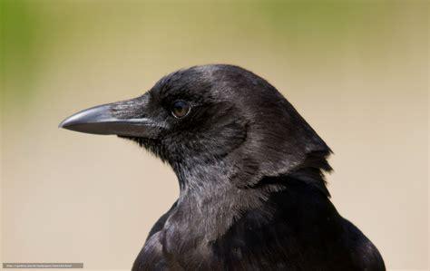 corbeau bureau tlcharger fond d 39 ecran oiseau corbeau voir profil fonds
