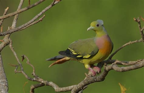orange breasted green pigeon birdforum opus