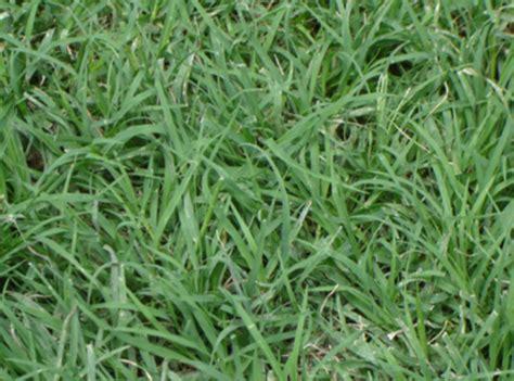 lawn grass scientific name section h s 233 lection du gazon pour les terrains de rugby