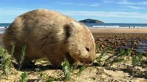 Was Fressen Waschbären : wombat rund um den kompakten beutels uger ~ Frokenaadalensverden.com Haus und Dekorationen