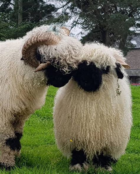 sheep valais blacknose breeder month focus society permalink