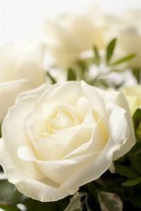 Fleur Rose Et Blanche : rose blanche les roses pinterest toutes les fleurs les fleurs et roses ~ Dallasstarsshop.com Idées de Décoration