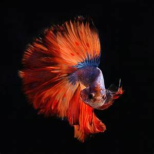 The 10 Most Beautiful Types of Betta Fish - News On 6