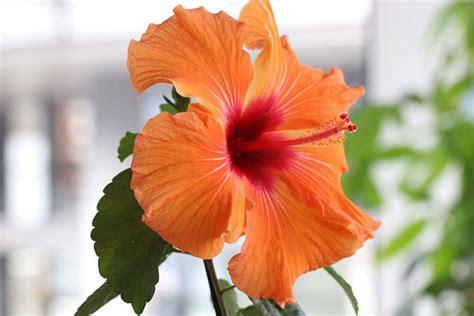Zimmerpflanzen Sonniger Standort by Zimmerpflanzen Sonniger Standort Hawaii Palme Sonniger