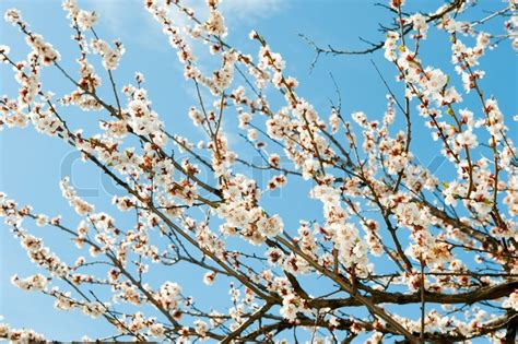 a tree with white flowers blossoming branches of a tree white flowers on a background of the blue sky stock photo