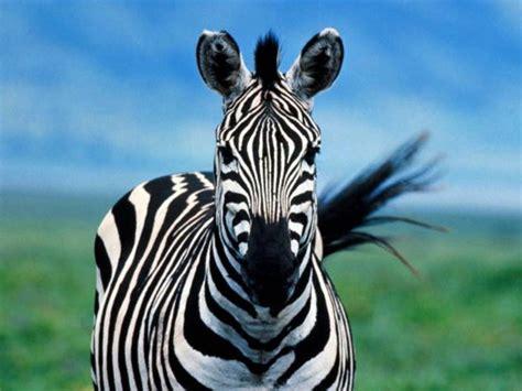koleksi foto kuda zebra koleksi foto  gambar