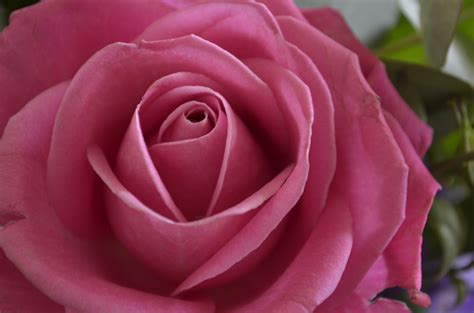 Roze roos | Rose, Flowers, Flora