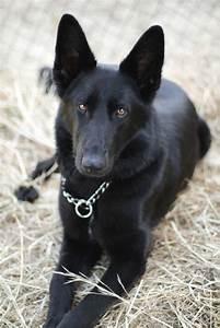 17 Best ideas about Black German Shepherds on Pinterest ...