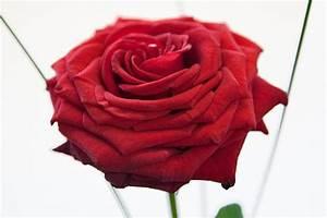 1 Rote Rose Bedeutung : gro e rote rose inklusive gratis vase rosenbote ~ Whattoseeinmadrid.com Haus und Dekorationen