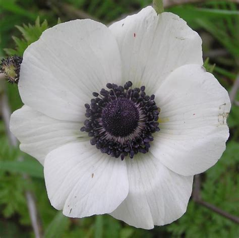 white anemone www imgkid the image kid has it
