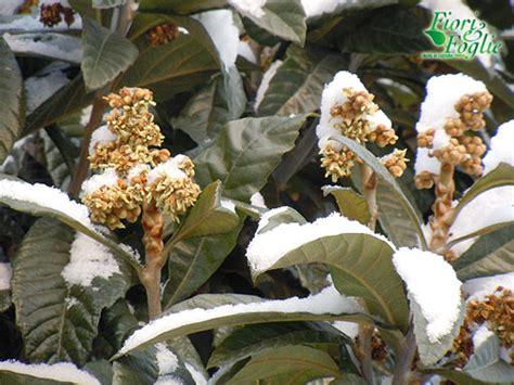 fiori di nespolo fiori sotto la neve 232 il nespolo giappone fiori e