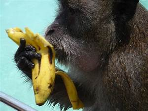 Monkey With Banana Wallpapers High Quality | Download Free