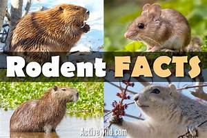 Rodent Facts  The Ultimate Guide To Rodents